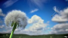 Three_Hour_Dandelion_by_Thykka (1)